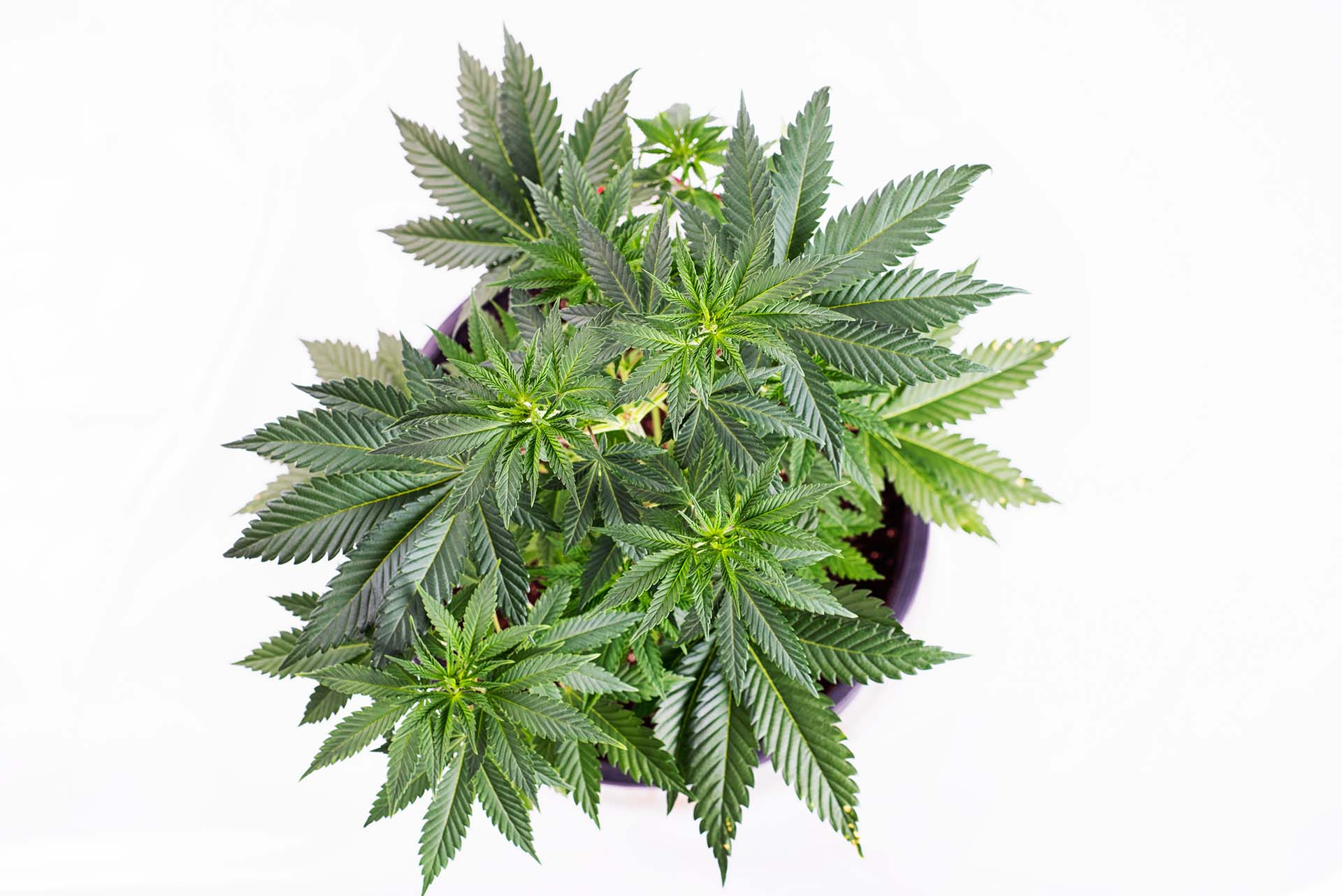 cannabis consulting guide