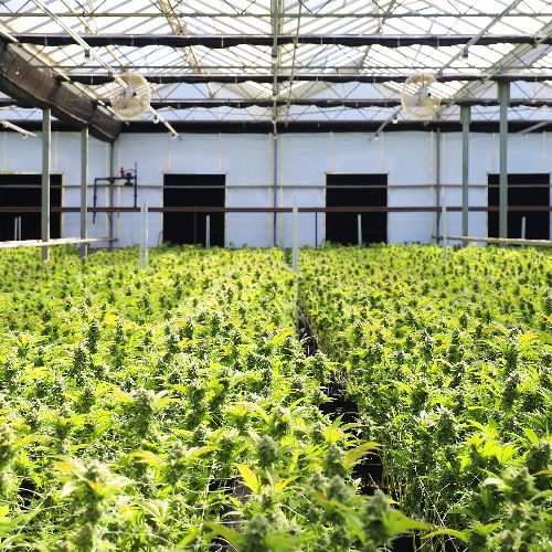 COVID-19 and Commercial Cannabis Real Estate