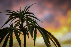 Higher Yields Consulting Athletes Who Smoke: Combating Cannabis Stigma in Sports